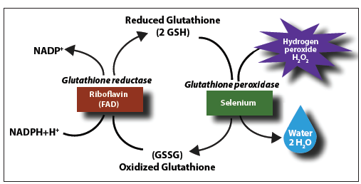 longer lifespans and better health with glutathione: taking the, Skeleton