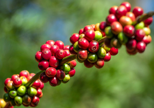 More Than Weight Loss Green Coffee Bean Extract Wholefoods Magazine