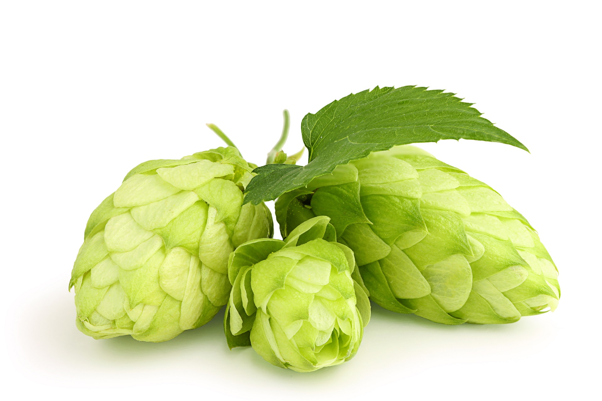 Hops extract studied to prevent breast cancer -- ScienceDaily