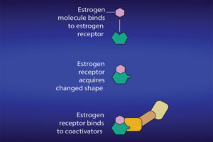 Figure 4a: Once an estrogen docks within an estrogen receptor, it induces changes in the receptor. Courtesy of National Cancer Institute.