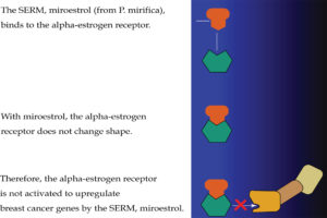 Figure 6: A Selective estrogen receptor modulator (SERM) can act as an anti-estrogen in some estrogen receptors and also as an estrogen in other estrogen receptors. Here, the SERM, miroestrol, is shown as blocking the activation of an alpha-estrogen receptor (ER-α) in a breast cancer cell. Courtesy of the National Cancer Institute.