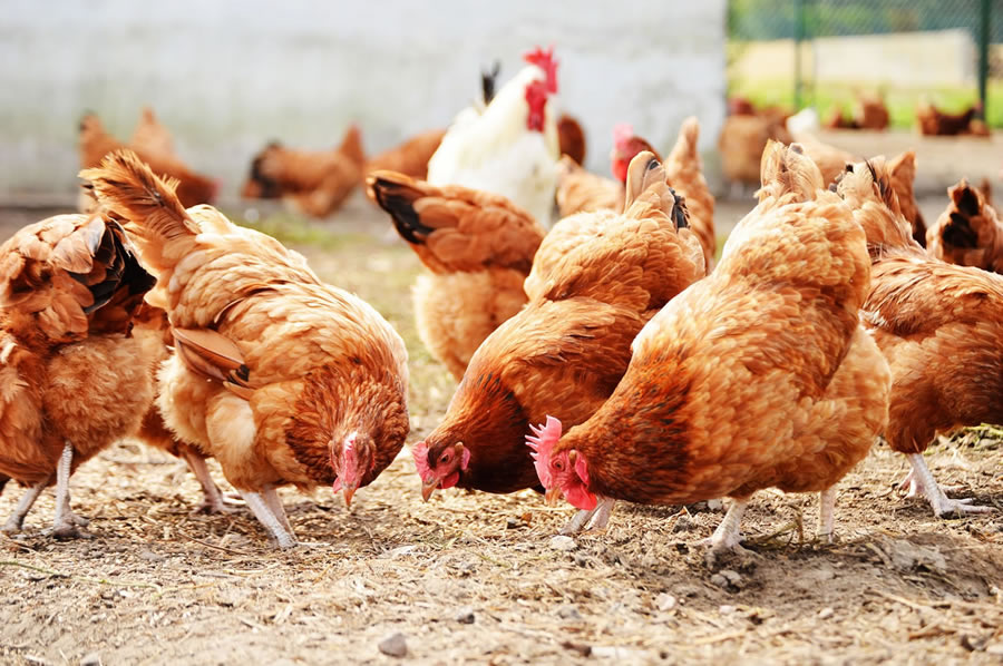 Bird Flu Outbreak Found On Tyson Foods Chicken Supplier Farm Whole