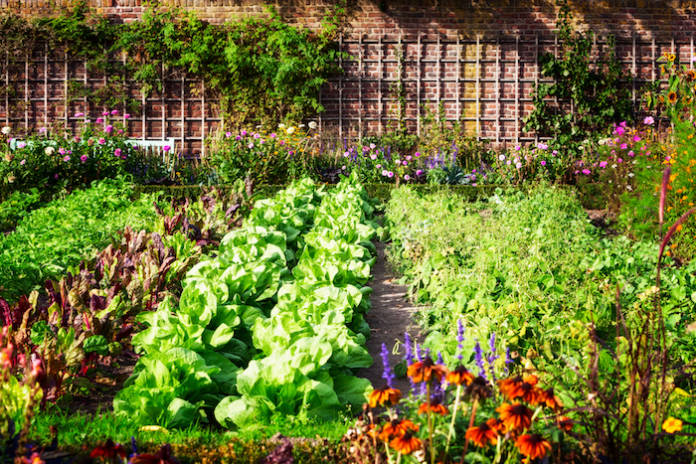 Vegetable garden in late summer. Herbs, flowers and vegetables in backyard formal garden. Eco friendly gardening (Vegetable garden in late summer. Herbs, flowers and vegetables in backyard formal garden. Eco friendly gardening, ASCII, 113 components,