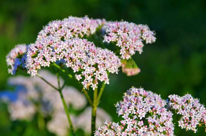 Valeriana, a herbal plant