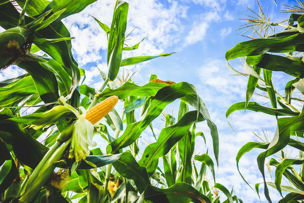 Corn cob growth in agriculture field outdoor with clouds and blue sky