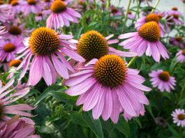 Purple and orange perennial cone flowers Echinacea Purpurea in a botanical garden.