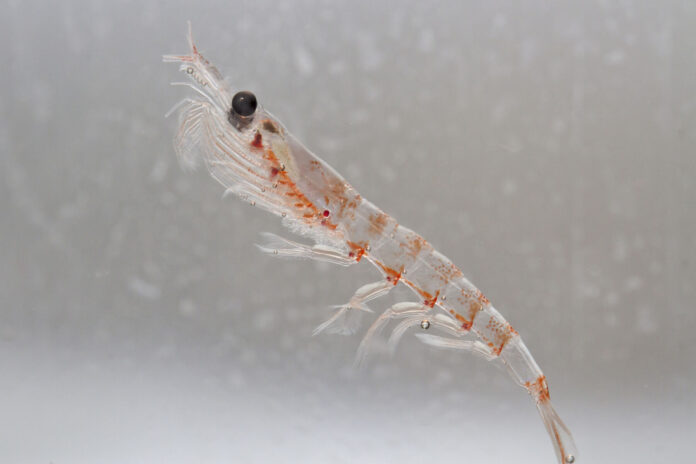 Antarctic krill in the water column of the Southern Ocean off the coast of the Antarctic Peninsula