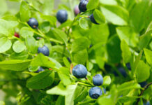 Ripe berries of bilberry grow in forest. Bilberry-bush growing in forest. Blueberry in wood. Harvesting whortleberries