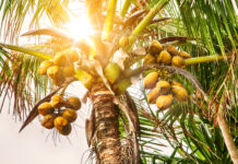 closeup of coconut tree with coconuts in the sunlight