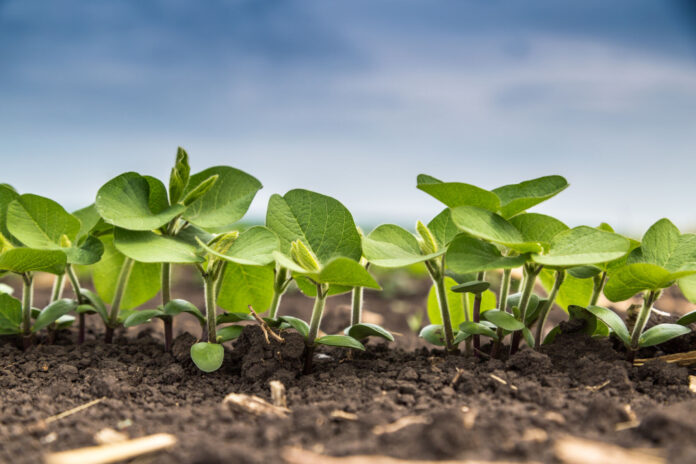 Fresh green soy plants on the field in spring. Rows of young soybean plants . High quality photo