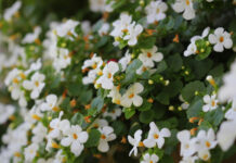 """Bacopa monnieri, herb Bacopa is a medicinal herb used in Ayurveda, also known as """"Brahmi"""", a herbal memory ."""