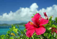 Hibiscus flower with the sea in the background